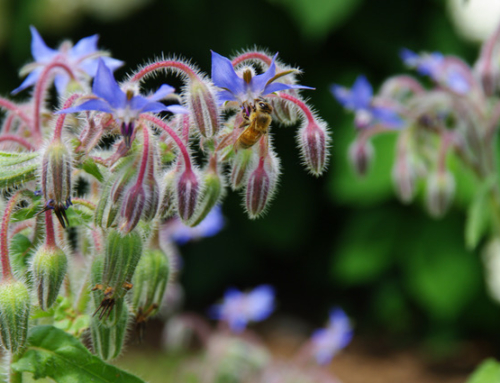 """Borage"" Beautiful, Beneficial and Blue"
